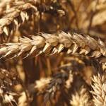 Wheat futures renew rally, amid fresh worries over EU, US dryness