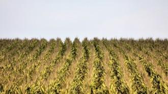 corn farm